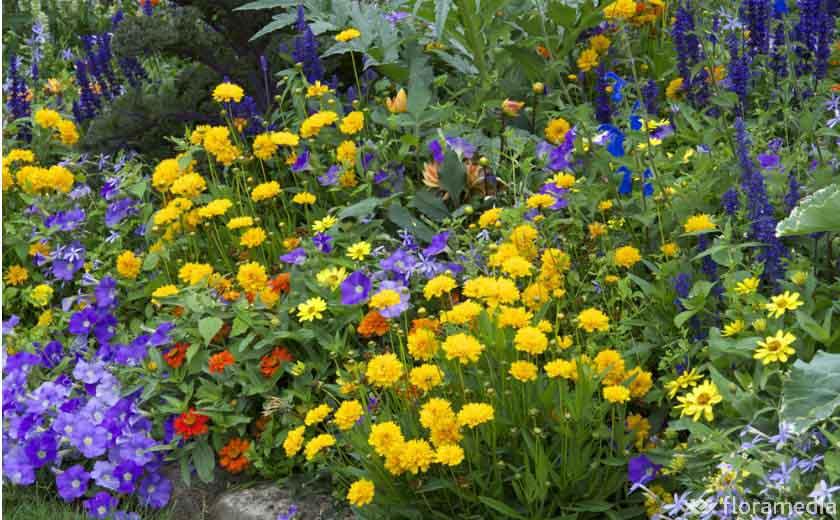 Coréospsis floraison