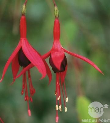 Fuchsia de Magellan