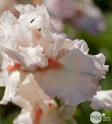 iris des jardins val de loire