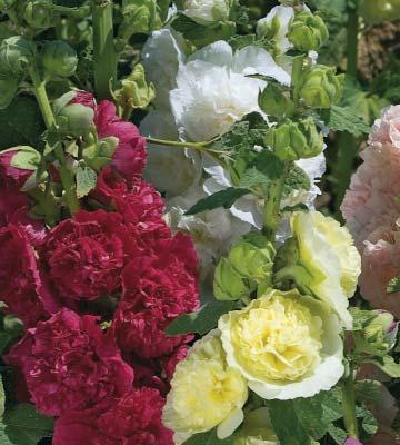Rose trémière 'Chater'