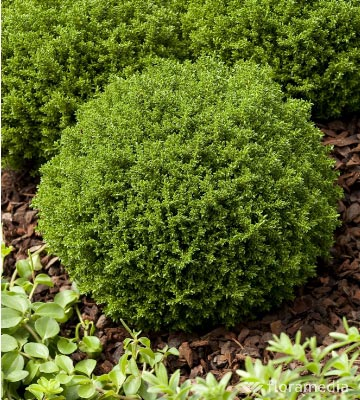 Hébé 'Green Globe'