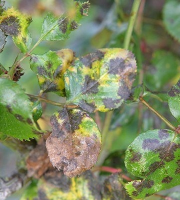 maladie rosier taches noires