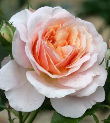 rosier parfum d'orléans
