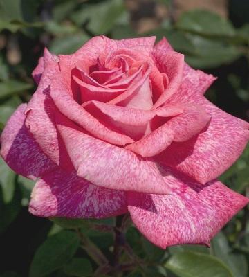 rosier pierre cardin