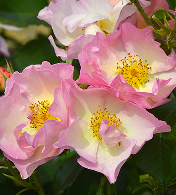 Rose Lambert Wilson