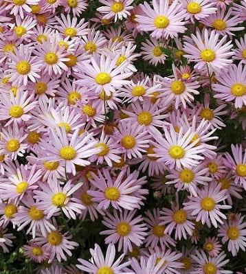 chrysanthemes roses