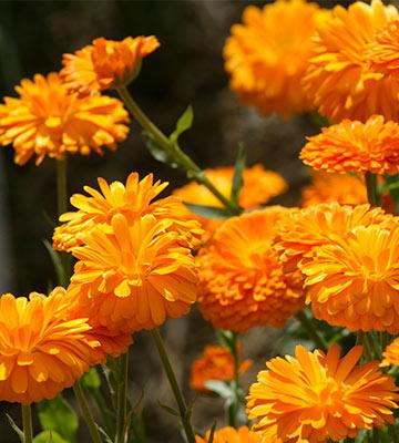 Les fleurs de souci