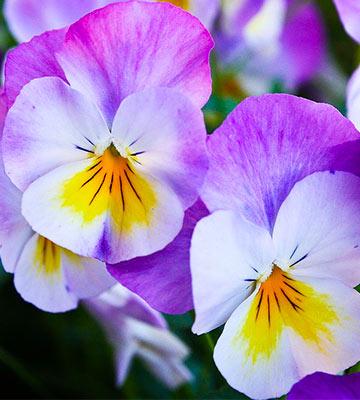 violettes comestibles
