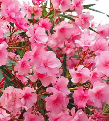 Laurier rose.