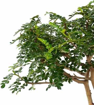 feuillage bonsaï poivrier