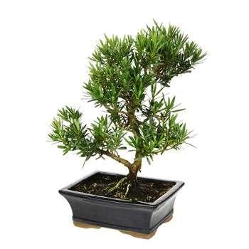 bonsai pin bouddhistes