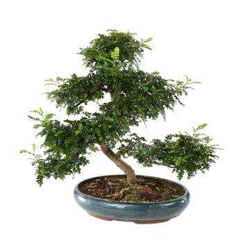 bonsai poivrier du japon