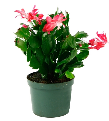 Schlumbergera (Zygocactus ou « Cactus de Noël »)