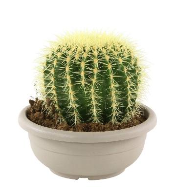 Echinopsis ou « cactus oursin »
