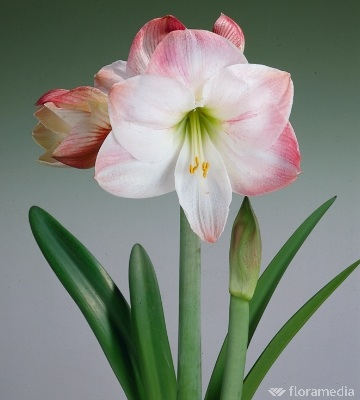 amaryllis apple blossom
