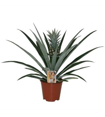 Plante-ananas - Ananas comosus 'Variegatus'