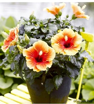 Hibiscus Apollo