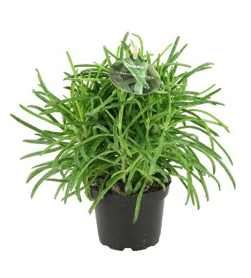 kalanchoe tubiflora