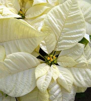 La floraison du poinsettia