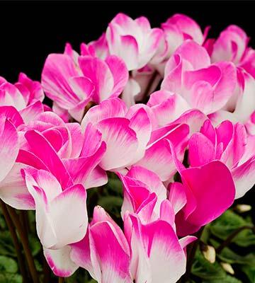Cyclamen fleuristes