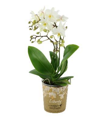Orchidée phalaenopsis Kolibri