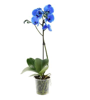 Orchidée phalaenopsis Royal Blue