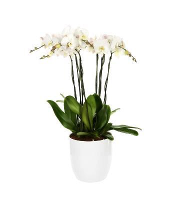 Orchidée phalaenopsis Tsarine