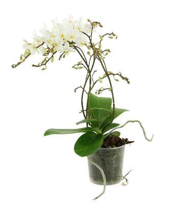 *Cette variété d'orchidée existe en plusieurs coloris.