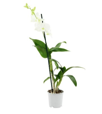Orchidée dendrobium white surprise