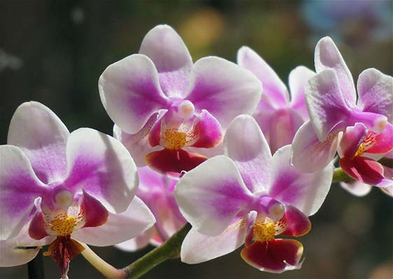 orchydee phalaenopsis