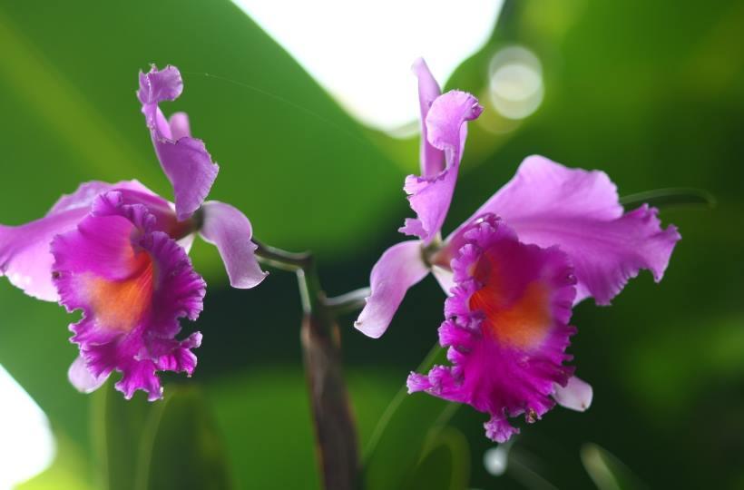 fleur orchidée cattleya