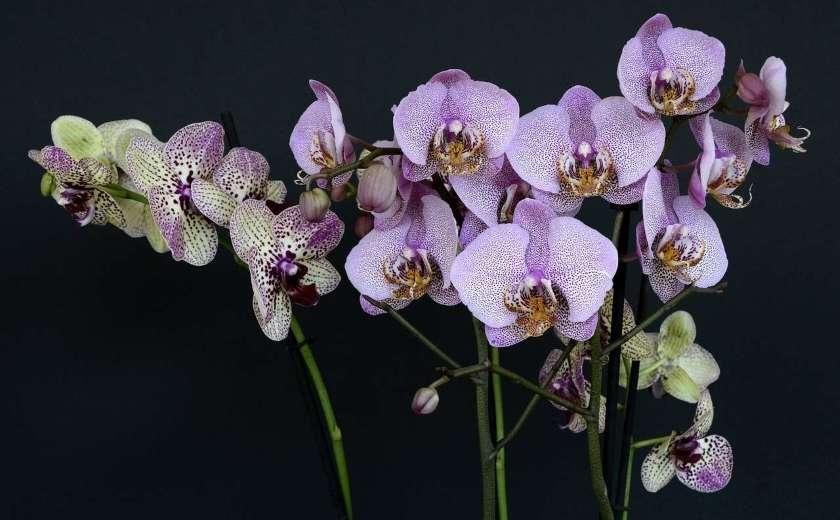 fleur orchidee phaleno