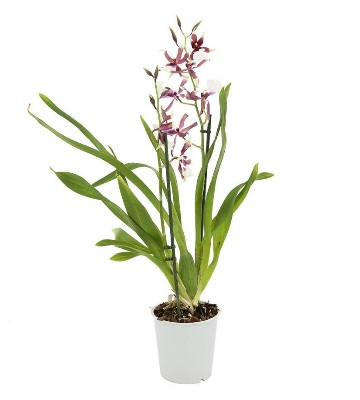 Orchidée cambria bartley white
