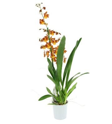 Orchidée cambria catante