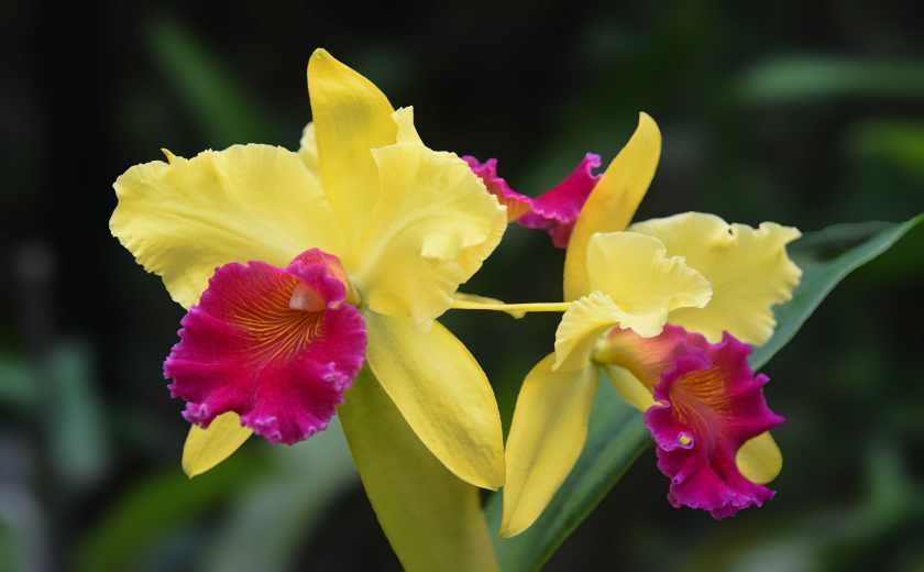 floraison orchidée cattleya