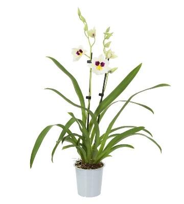 Orchidée miltoniopsis herr alexandre