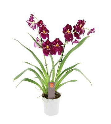 Orchidée miltoniopsis red tide
