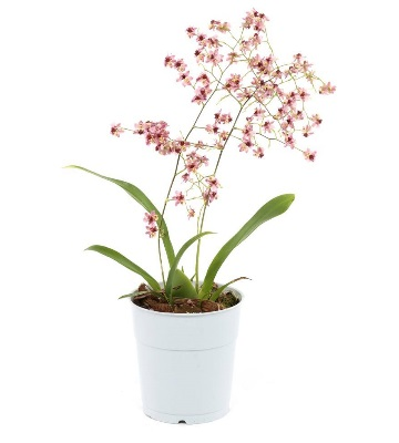 Orchidée oncidium arrosage