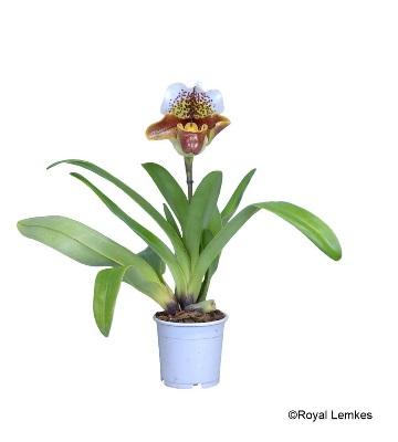 orchidée sabot de vénus