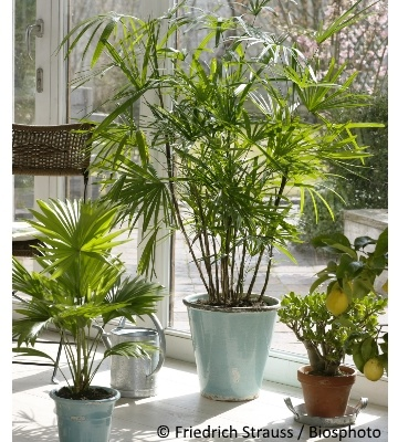 Où placer un palmier en intérieur