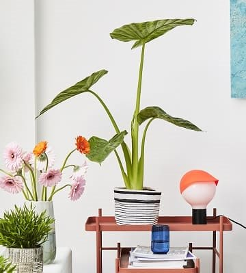 alocasia deco table
