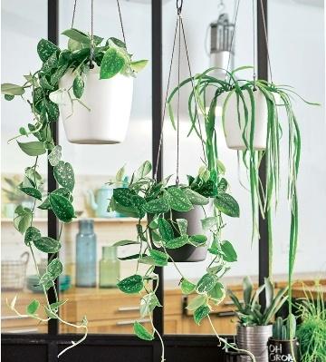 pothos plantes d'intérieur