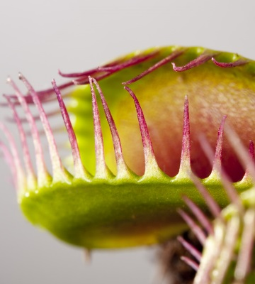 plante carnivore dionée