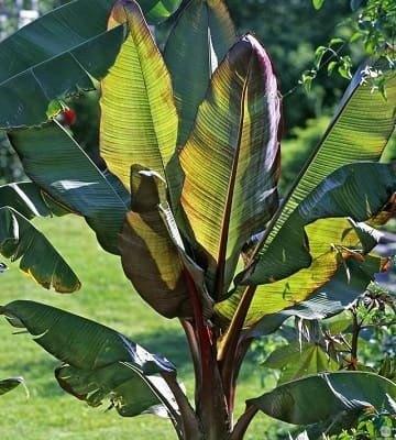 bananier jardin
