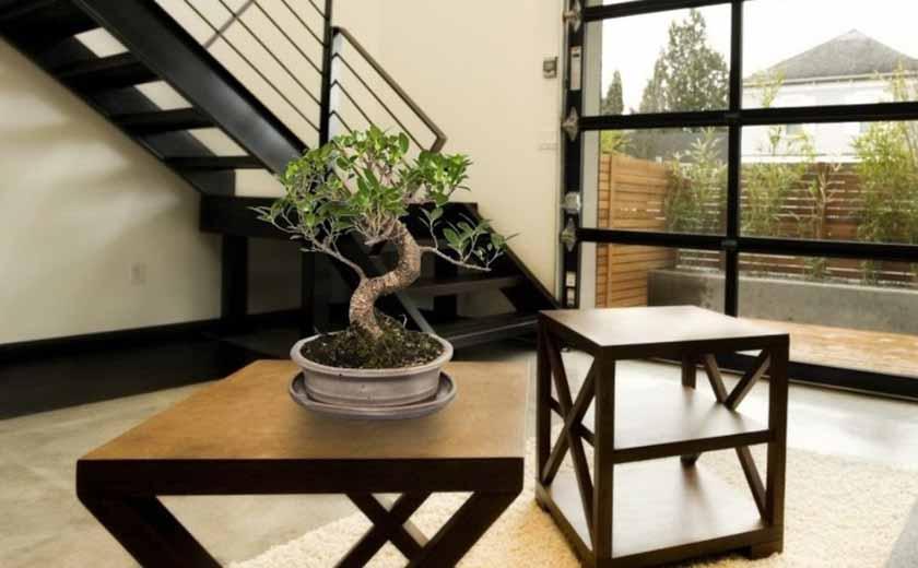 bonsai ficus d'intérieur
