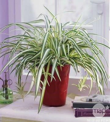 chlorophytum pot