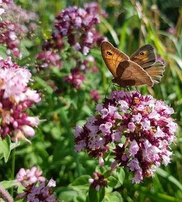marjolaine avec papillon