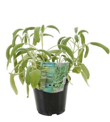 sauge officinale plantation en pot