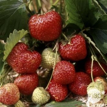 fraisier surprise des halles