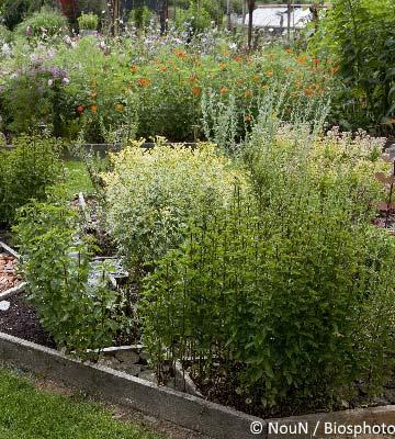 cultiver des herbes aromatiques